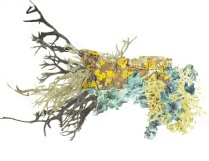 Lichen Morph