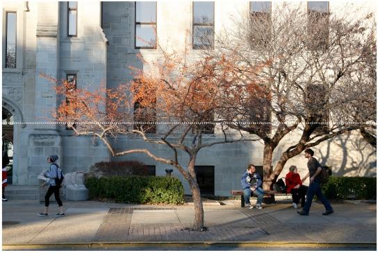 Crab-apple Tree at the University of Kansas